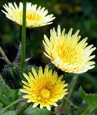 Common Garden Flowers the 25+ best common garden weeds ideas on pinterest | earwigs