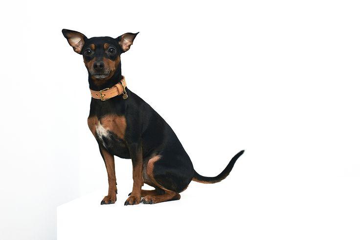 Rolf & Lazarus Vesterbro Collar in Natural. https://www.rolfandlazarus.com/dog-collars/dog-collar-vesterbro-natural