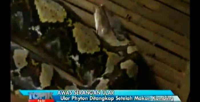 Ular Raksasa Di Sragen Jawa Tengah