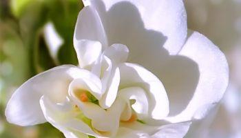 Pure white petals