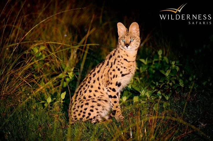 Chelinda Camp - Serval are seen regularly while on night drive. #Safari #Africa #Malawi #WildernessSafaris