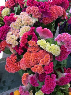 coxcomb celosia | Cockscomb: Mother Nature's Knit Flower
