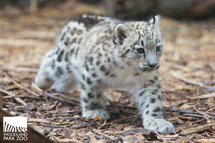 When Woodland Park Zoo keepers opened the door allowing Aibek, a 2-month-old Snow Leopard, to leave the maternity den for the first time, the cub zipped outside so fast that he beat his mom into the outdoor habitat.