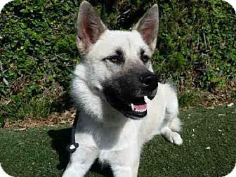 SUPER URGENT! High kill L.A. shelter! Belgian Malinois/Siberian Husky Mix Dog for adoption in Los Angeles, California - ZARHA