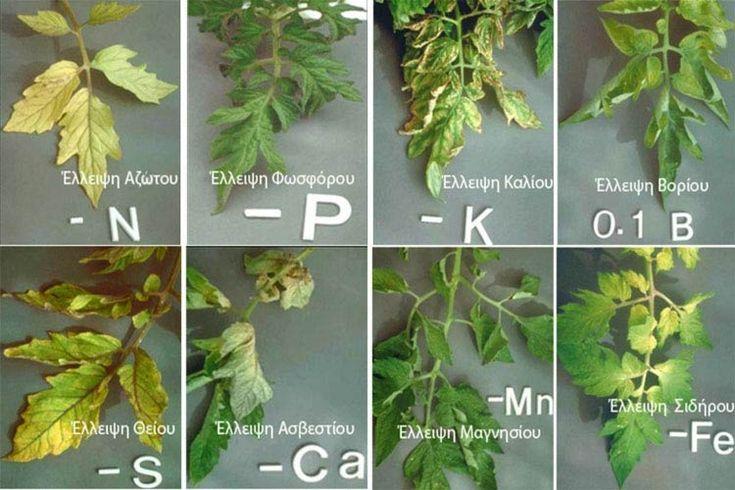 Τομάτα: Τοξικότητες, Τροφοπενίες και ελλείψεις θρεπτικών στοιχείων - Plant Protection