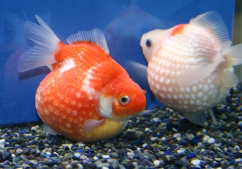 Pearlscale goldfish go fish pinterest understand for Small koi fish