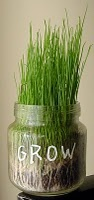 Growing Grass in Baby Food Jars