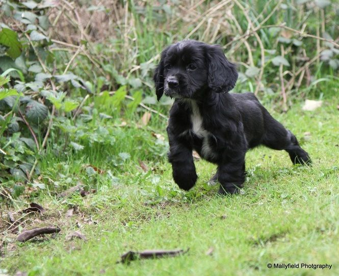 Working Cocker Spaniel puppy