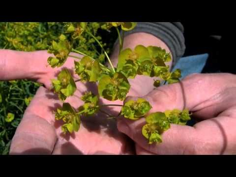 Great videos on invasive species identification in the Midwest produced by UW Weed Science