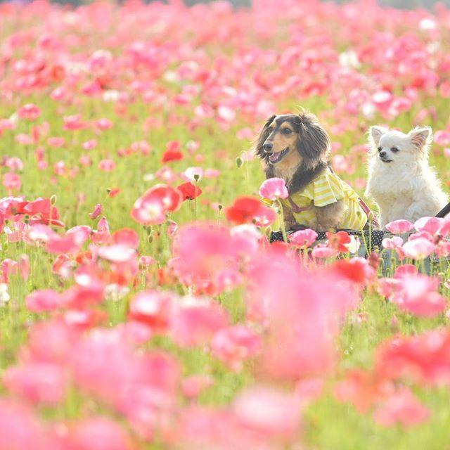 ***** . 赤やピンクのポピーたち♪ . この地区の活性化のため 農地にポピーの種を蒔いたらしい。 . 地元の皆さんの愛がこもったポピー畑でした♡ . . #ぷくの目が開いてる #背丈が高いからカートで #ポピー可愛いなー #車にポピー #todayswanko #wooftoday  #dogphotography #dog #愛犬 #チワワ #chihuahua #ミニチュアダックス#ダックス #dachshund #doxie #inulog #ぺピ友 #横顔わんこ部 #ファインダー越しの私の世界 #写真好きな人と繋がりたい #カメラ女子 #flowers #花 #ポピー #poppy #smile #仲良し #beautiful #癒し #Nikon