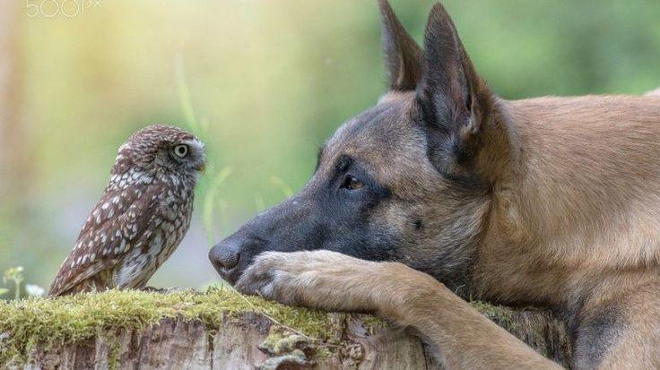 Poldi e Ingo são os protagonistas de uma amizade improvável entre uma coruja e um pastor alemão. Os dois estão a conquistar fãs na Internet, com as fotos que a dona lhes tira. Veja-as na fotogaleria.
