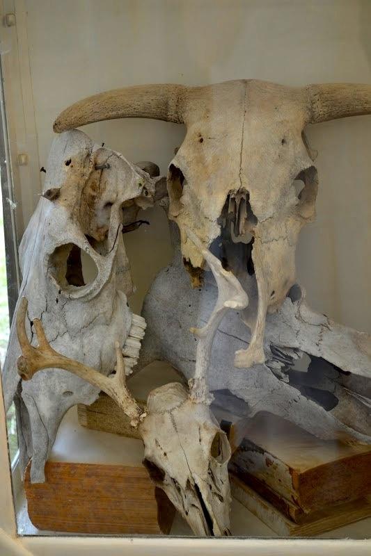 63 Best Skulls Bones Antlers And Horns Images On Pinterest Animal Skulls Animal Anatomy And