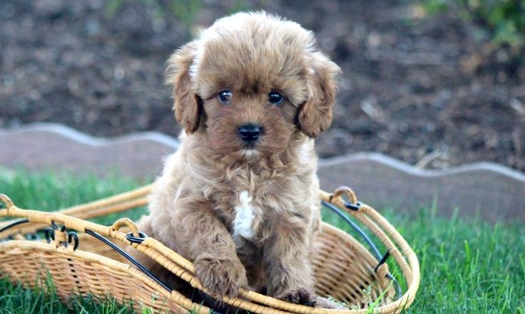 Puppies – Cavapoo – Leah 4 Puppies for Sale in PA | Keystone Puppies