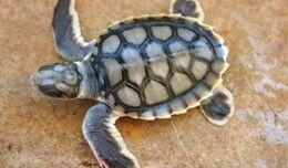 Tortuga Plana. Natator Depressus.  Las tortugas planas se nombran por su caparazón aplanado, que es en color gris oliva. La tortuga plana sólo se encuentra en Australia y vive en aguas costeras. Se alimentan de calamares, pepinos de mar, corales blandos y moluscos