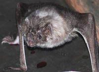 Vampires Bats and a Bat Detector