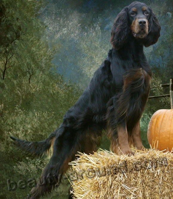 Шотландский сеттер (чёрно-подпалый сеттер, гордон) породы собак с фотографиями