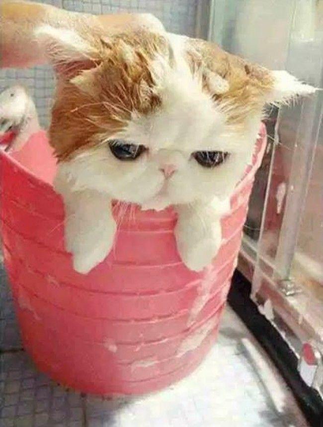 マンチカンの子ねこちゃん、お風呂に入る様子が激カワ - 写真 - 気になる - ニュース - クランクイン!