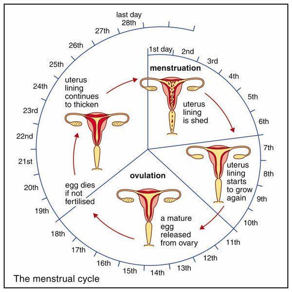 The  Best Fertility Cycle Ideas On   Fertility Period
