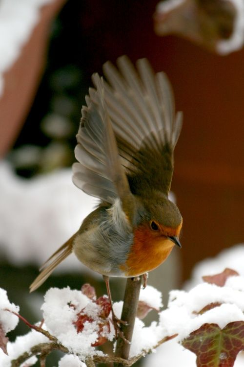 Robin in the Snow. A Robin as it lands in the Snow in my garden. A picture of: Tyne & Wear, Gateshead