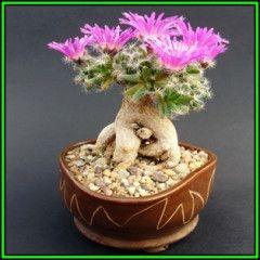 Trichodiadema densum - Desert Rose - 15 Seeds - Indigenous + FREE Bonsai eBook, NEW