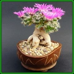 Trichodiadema densum - Desert Rose - 15 Seeds - Indigenous + FREE Bonsai eBook, NEW