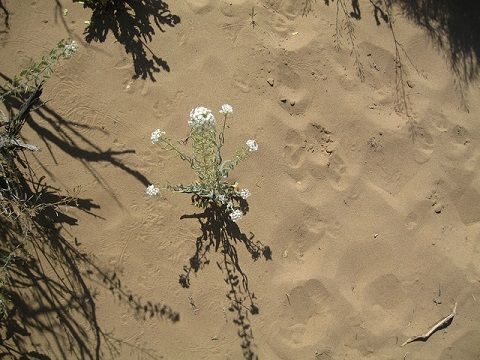 By Somali K Chakrabarti  Image Source Tiny Desert Wildflower In an arid land Dormant and quiet Sat gathering figments Of her morning dream, In ephemeral hope Of a few drops of Rain to bloom W…