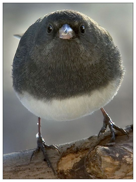 17 Best Images About Fat Birds On Pinterest Dazed And
