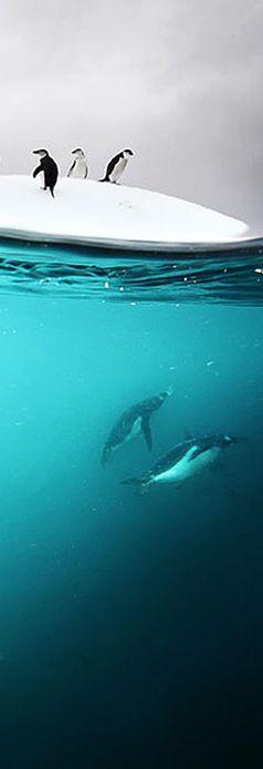Underwater #Antarctic #Penguins #Doubilet
