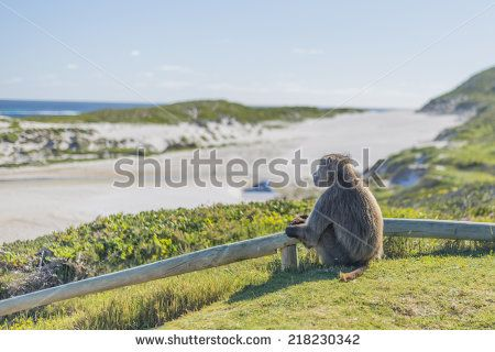 http://www.shutterstock.com/pic-218230342/stock-photo-chacma-baboon-at-cape-point-located-near-the-city-of-cape-town-south-africa-the-peninsula-has.html?src=6xWlinckhW7vCYDSAru7hw-1-44  Chacma Baboon at Cape Point, located near the city of Cape Town, South Africa. The peninsula has towering rock cliffs that overlook the beautiful ocean view. A tourism and travel hot spot. - stock photo