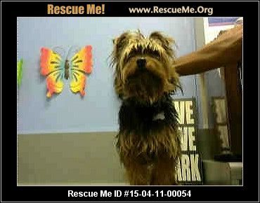 Urgent: This animal could be euthanized if not adopted within the next day or two. Animal ID: A408324CHOCOLATE URGENT NOW (male) Yorkie Mix Age: Young Adult Health: Needs to be Neutered, Vaccinations Current CHOCOLATE - ID#A408324 My name is CHOCOLATE and I am a male, black and tan Terrier mix and Yorkshire Terrier. The shelter thinks I am about 3 years old. I have been at the shelter since Apr 10, 2015 and I am available for adoption now! Animal Location: Moreno Valley Animal Services 14041…