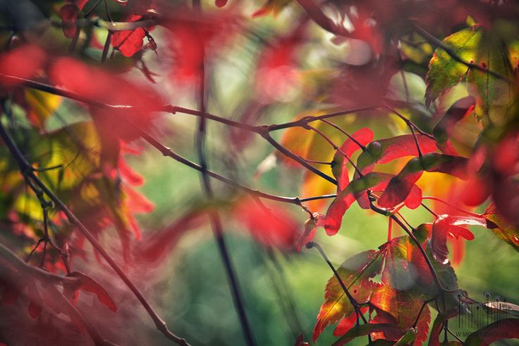 Acer palmatum 'Red Wine'. by Anna Skorupska