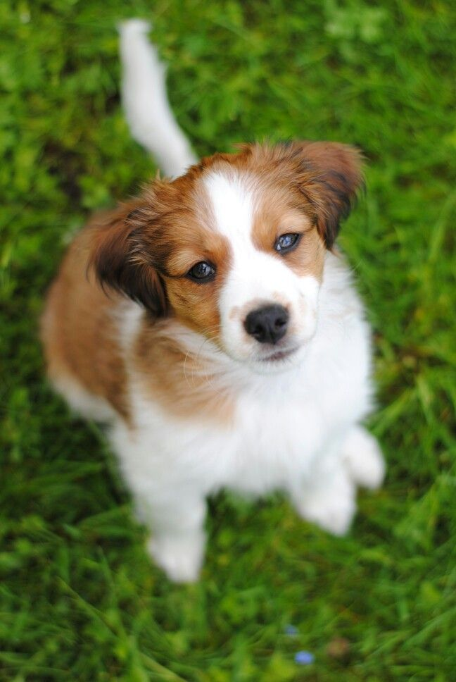 Kooikerhondje Campino - The Kooikerhondje is a small spaniel-type breed of dog of Dutch ancestry that was originally used as a working dog.