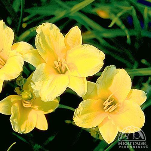 Hemerocallis 'Stella de Oro'  daylily - growing in both upper and lower flowerbeds: Daylily Perennial, De Oro, Gardening Ideas, Oro Daylily, Star Of, Garden Plants