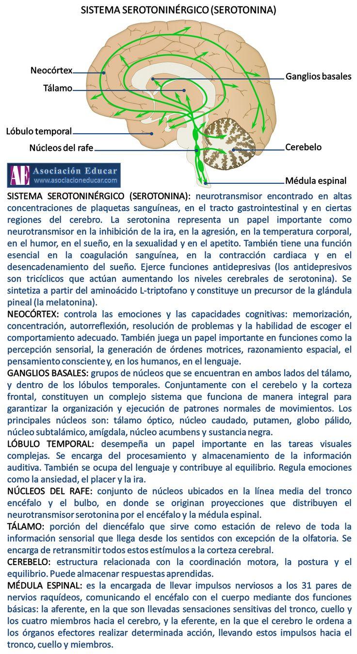 Infografía neurociencias: Sistema serotoninérgico (serotonina)   Asociación Educar para el Desarrollo Humano