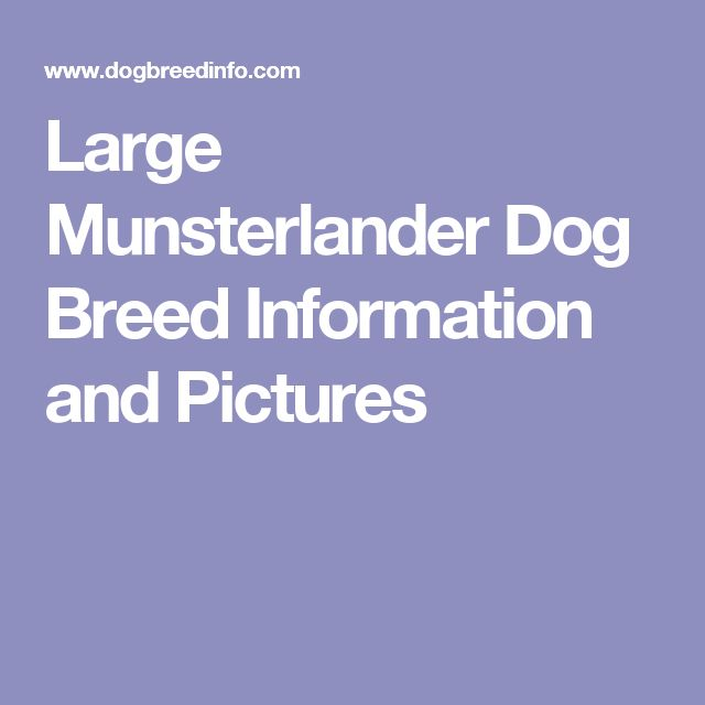 Large Munsterlander Dog Breed Information and Pictures