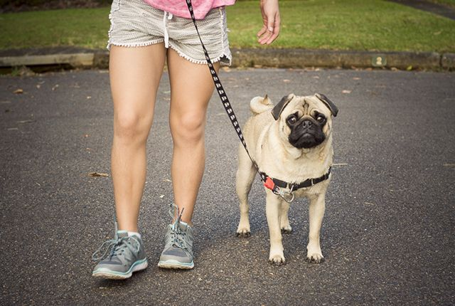 Pug Training 101: How to Teach Your Pug to Walk on a Loose Lead Part 2 http://www.thepugdiary.com/pug-training-101-teach-pug-walk-loose-lead-part-2/