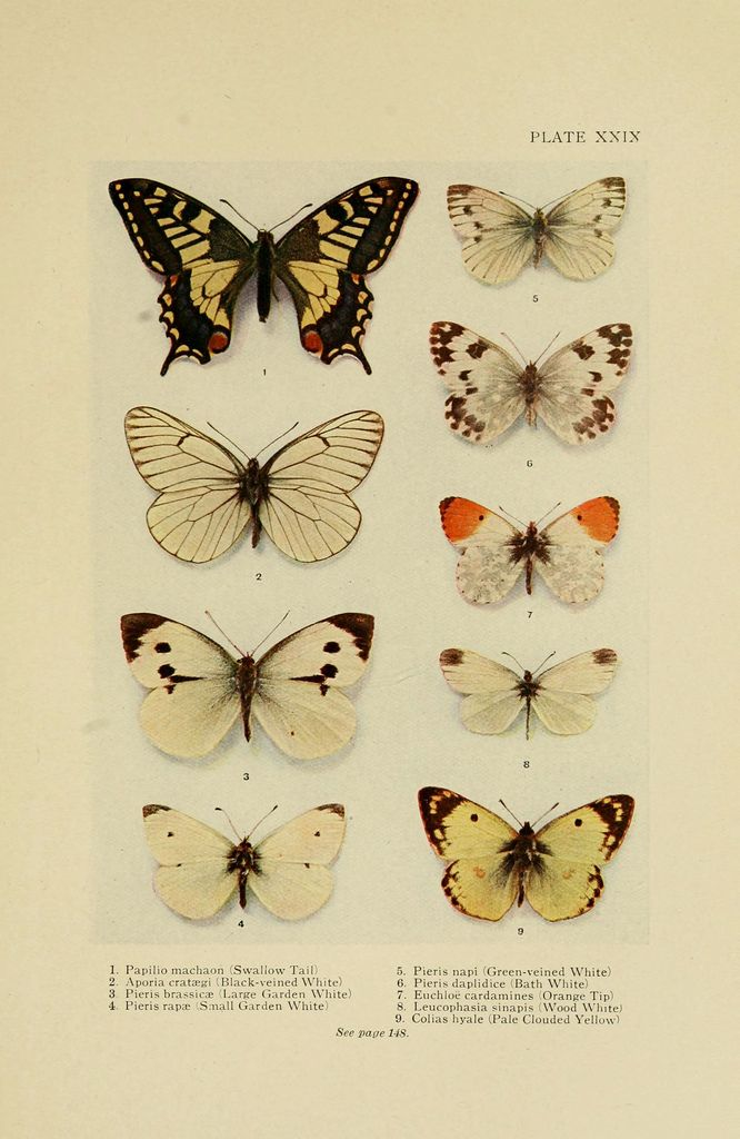 butterfly, zoological illustration biodiversity library