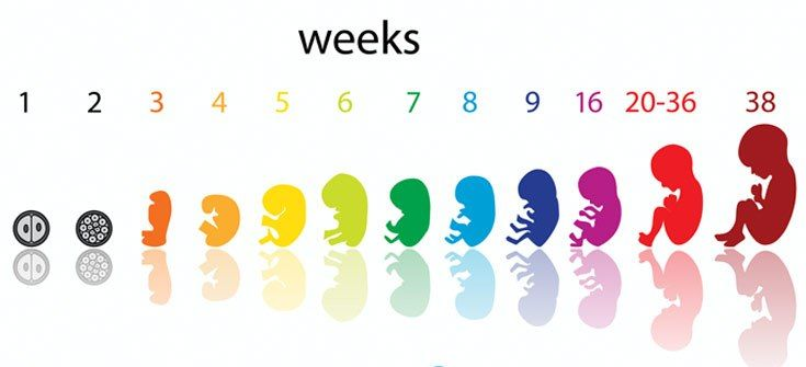 Fetal Development: How a Fetus Develops in Mother's Womb?