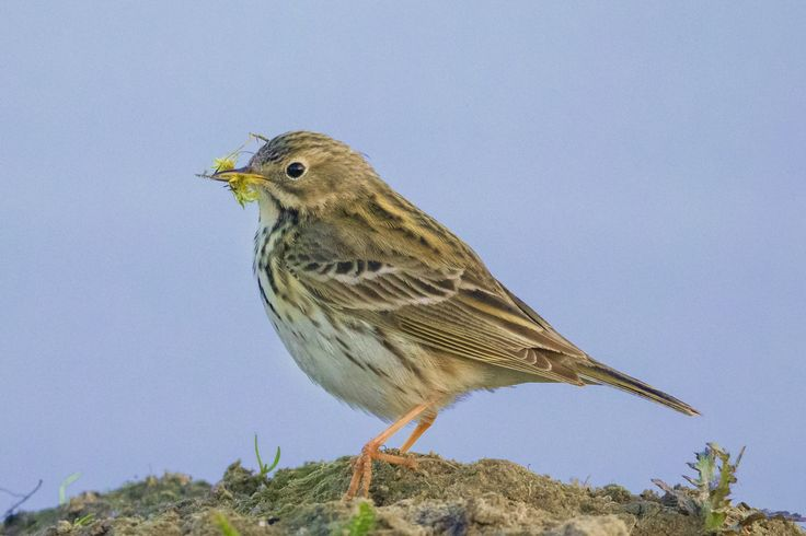 Meadow Pipit, N half of Europe & NW Asia by Andy Pritchard