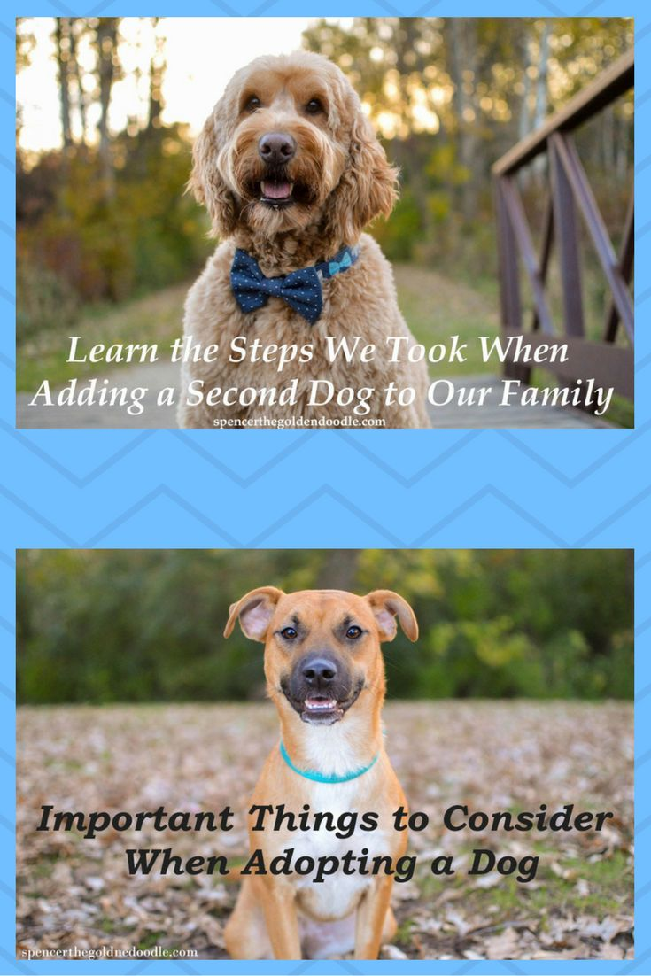 Thinking about adding a dog to your family? Spencer the Goldendoodle share the steps his family took when they decided to adopt another dog. Simply click on the picture to learn more.