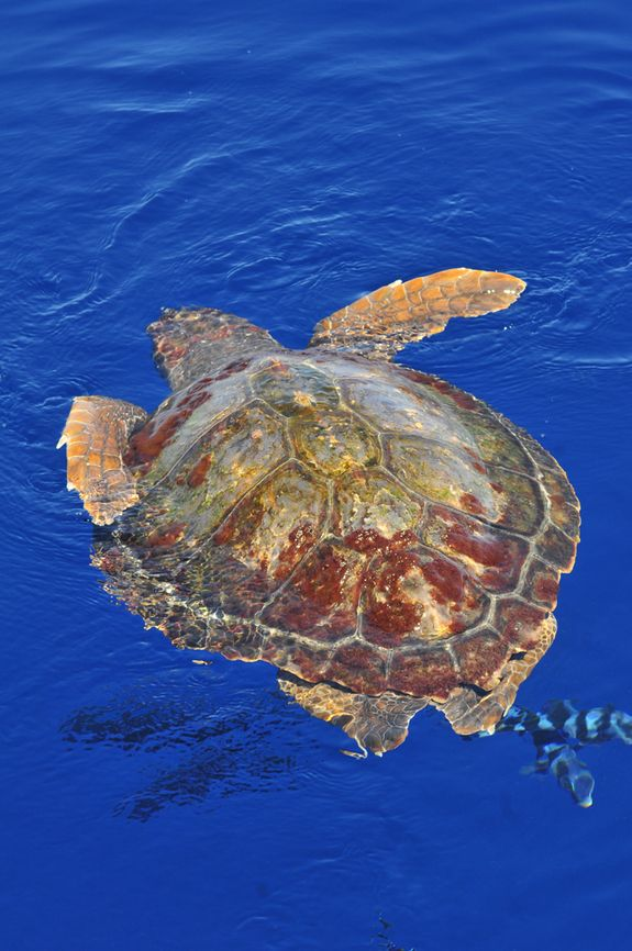 Loggerhead Turtles Swim to Safety. A loggerhead turtle at the surface getting air.