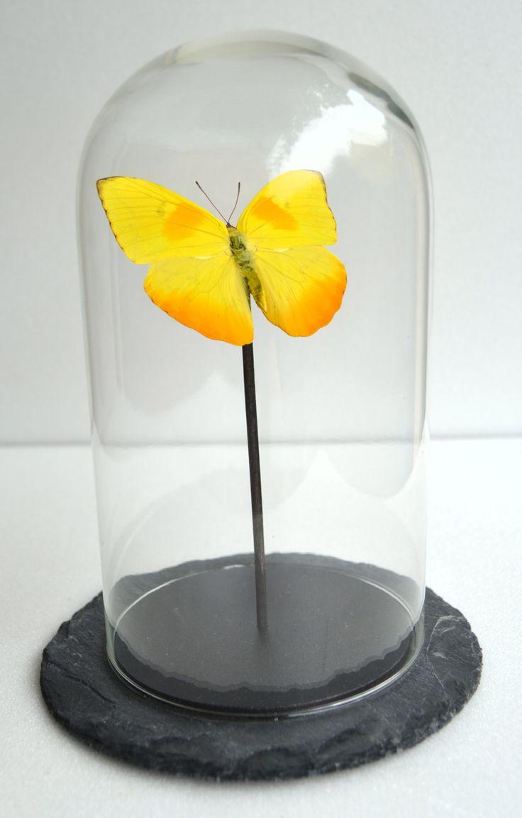 Papillon Phoebis philea d'Amazonie sous cloche en verre : Boîtes, coffrets par papillon-ulysses