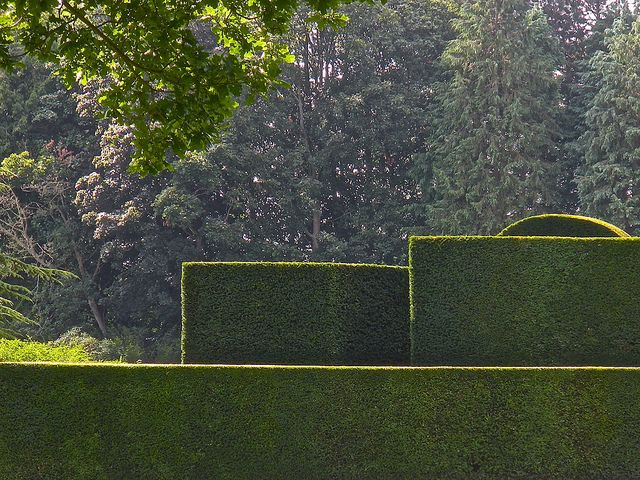 Yew hedges at Bradenham Hall, Norfolk