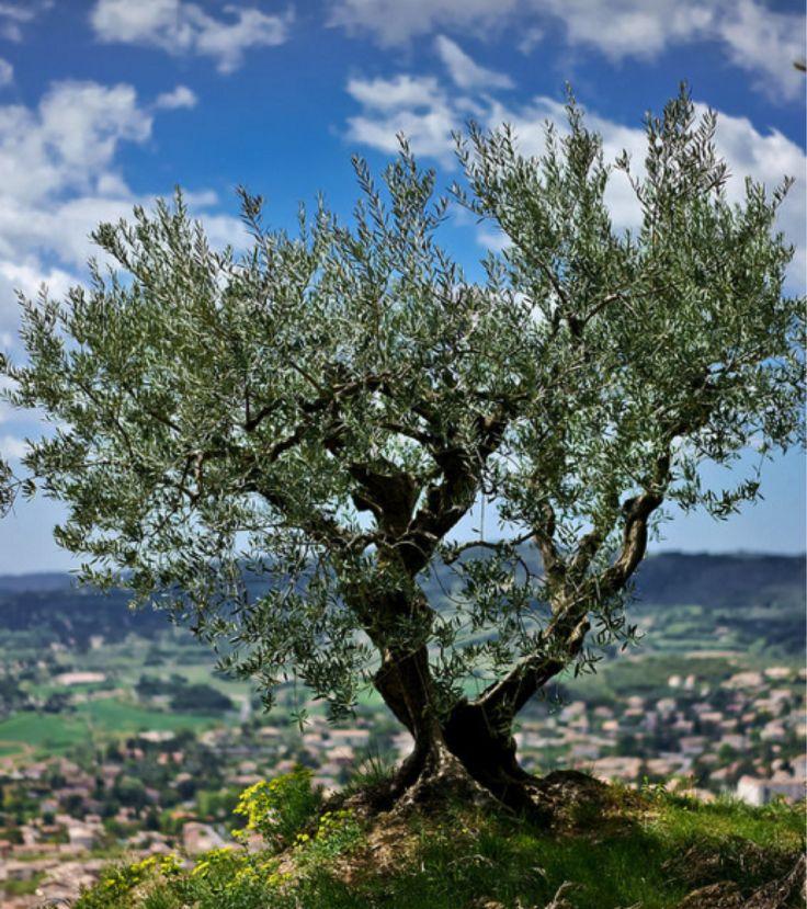 Les 36 meilleures images du tableau oliviers sur pinterest - Arbre provencal ...