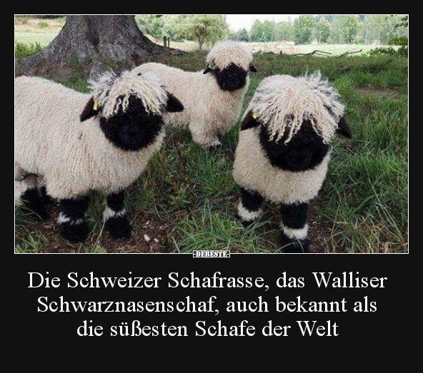 Die Schweizer Schafrasse Das Walliser Schwarznasenschaf