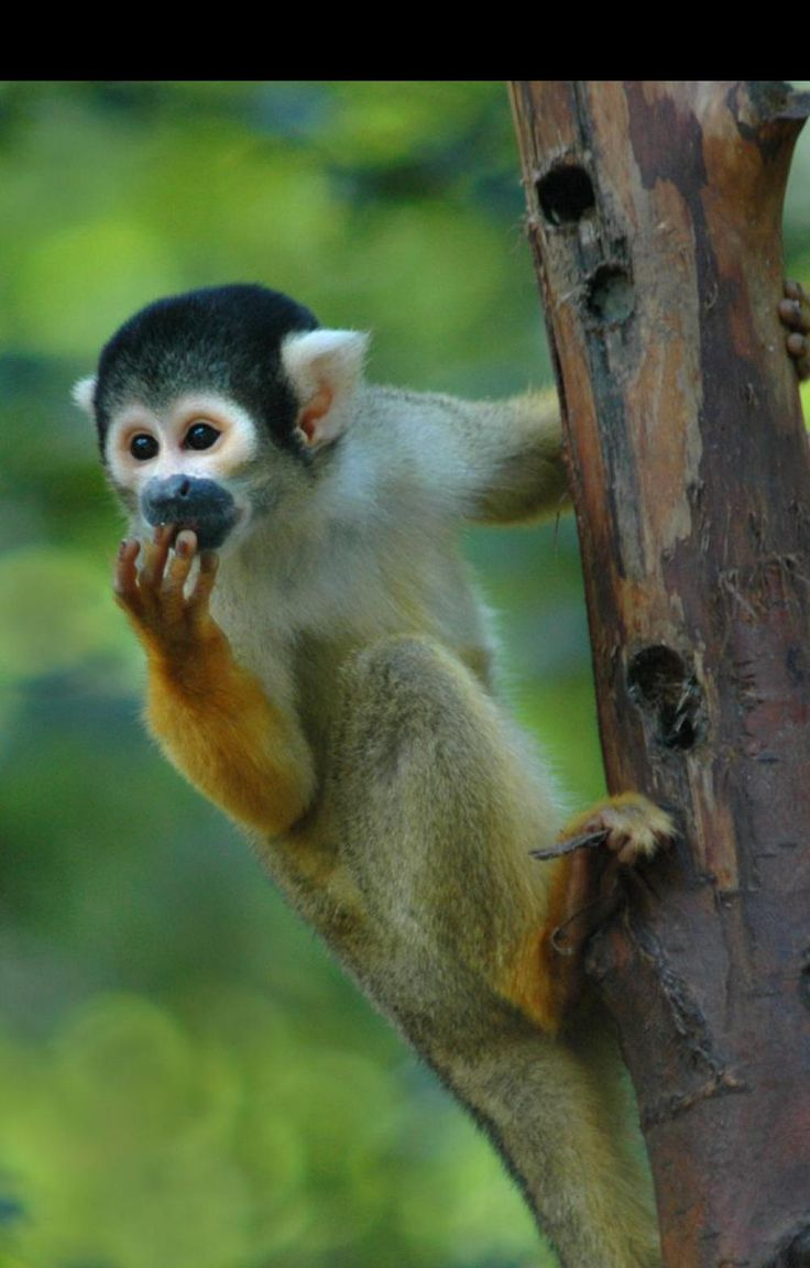 Squirrel Monkey Amazon Monkeys Seen On A River Cruise Amazon Rainforest Jungle Monkeys Squirrel Monkey Amazon Animals Rainforest Animals