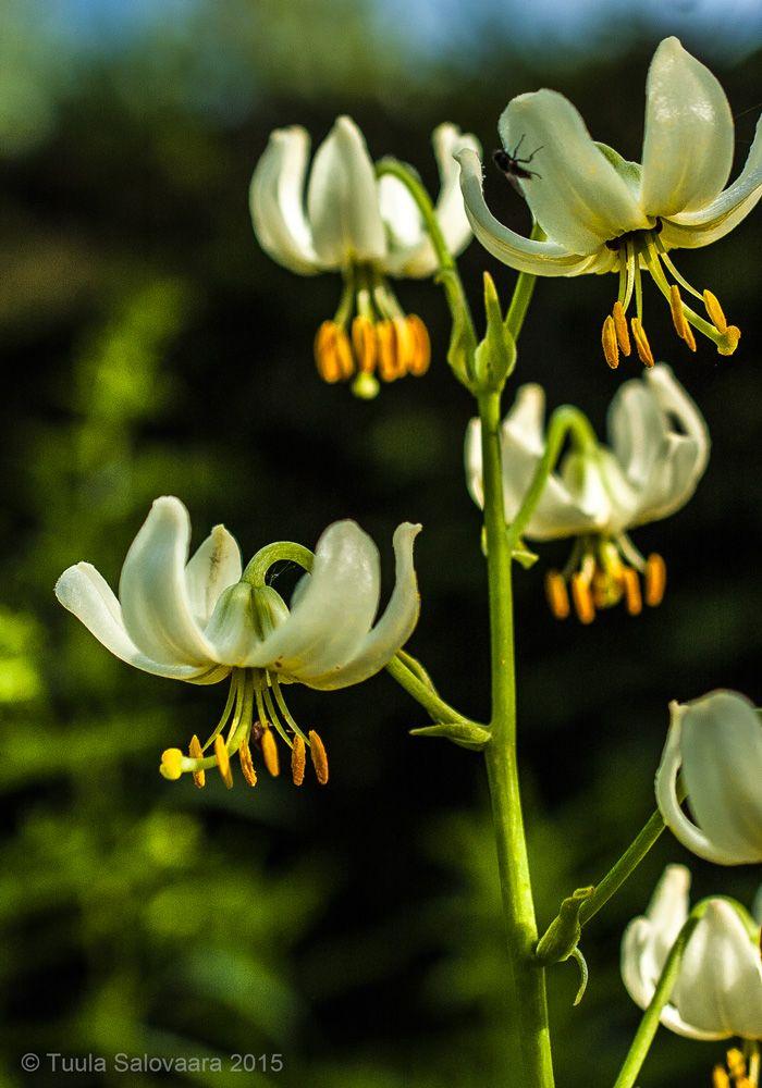 Varjolilja, Lilium martagon