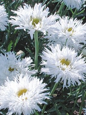 Leucanthemum 'Aglaia' Shasta Daisy: Full Sun, perennial, blooms all summer if deadheaded, divide every 2-3 years. So fluffy & pretty!