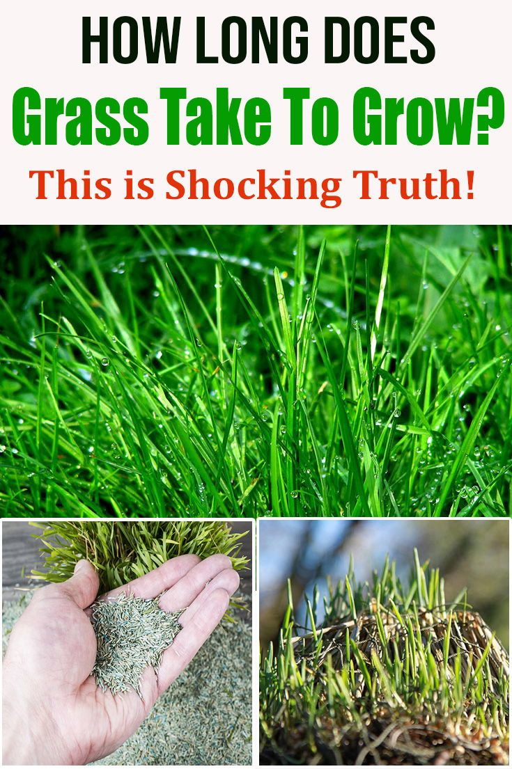 How Long Does Grass Take To Grow This Is Shocking Truth In 2020 Grass Organic Lawn Care Organic Lawn