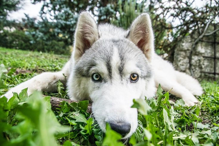 Husky Is Watching Me